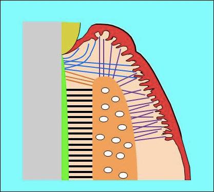 セメント歯肉線維、歯槽骨歯肉線維、セメント骨膜線維の図