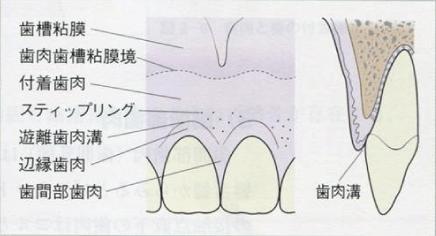 歯周組織の構造についての説明図