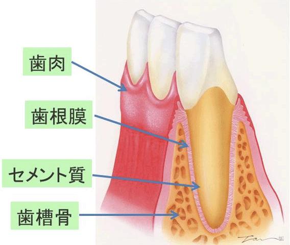 全体像の断面。上から歯肉、歯根膜、セメント質、歯槽骨となる。