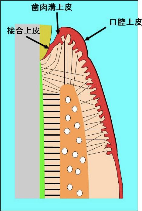 上皮についての説明断面図